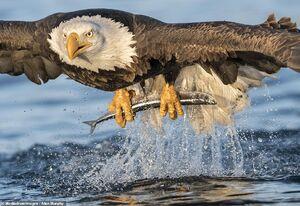 لحظه دیدنی ماهی گرفتن عقاب